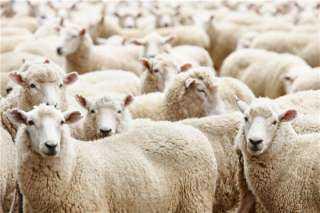 """""""الزراعة"""" توضح كيفية حساب نسبة اللحم الصافي في الأضحية"""